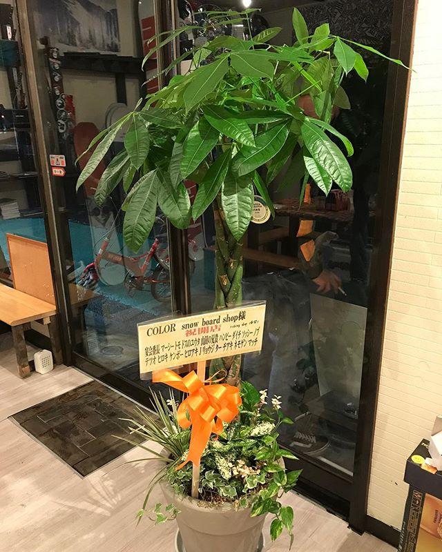 おはよーございます!9月29日(土)Openしてましたよー!今日もたくさんのご来店ありがとうございました!・お気に入りパキラゆり以外の植物は詳しくないので、可愛がっていきたいと思います・臨時休業のお知らせ・明日9/30(日)10/2(火)10/7(日)臨時休業となります。ご注意下さい。・大変ご迷惑をおかけしますが、よろしくお願いします・#colorsnowboardshop #colorgang #ヨコノリスタ #イロヲ出セ #snowboardshop #宇都宮 #カラースノーボードショップ